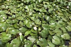 Lirios de agua - cojín del nymphaeaceae o de lirio en el lago Shefield, Uckfield, Reino Unido foto de archivo libre de regalías