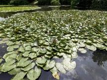 Lirios de agua - cojín del nymphaeaceae o de lirio en el lago Shefield, Uckfield, Reino Unido Imagenes de archivo