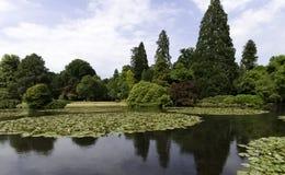 Lirios de agua - cojín del nymphaeaceae o de lirio en el lago Shefield, Uckfield, Reino Unido foto de archivo