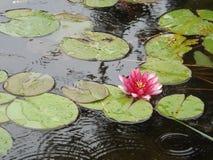 Lirios de agua con la flor Fotos de archivo