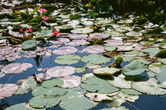 Lirios de agua con las floraciones y Lily Pads Imagenes de archivo
