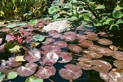 Lirios de agua con las floraciones y Lily Pads 2 Fotos de archivo libres de regalías