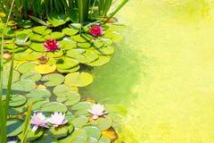 Lirios de agua de Nenufar en la charca de agua verde Fotografía de archivo