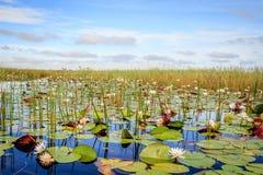 Lirios de agua en el delta de Okavango fotografía de archivo libre de regalías