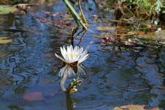 Lirios de agua en el delta de Okavango de Botswana imagen de archivo libre de regalías
