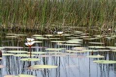 Lirios de agua en el delta de Okavango imagenes de archivo