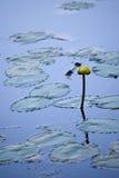 Lirios de agua en el lago Imagenes de archivo