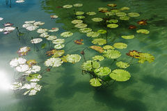Lirios de agua en el lago Foto de archivo libre de regalías