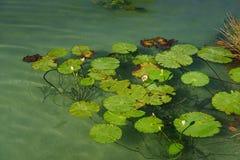 Lirios de agua en el lago Fotos de archivo
