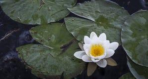 Lirios de agua en el lago Garten en Escocia Imágenes de archivo libres de regalías