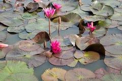 Lirios de agua en el parque histórico en sukhothai Imagen de archivo