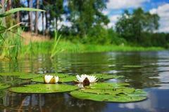Lirios de agua en el río Imagenes de archivo