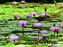 Lirios de agua en la floración Fotos de archivo