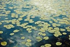 Lirios de agua en la superficie del lago Hojas del verde del agua en la superficie del lago foto de archivo libre de regalías