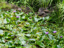 Lirios de agua en los jardines del agua de Vaipahi, Tahití, Polinesia francesa Imagenes de archivo