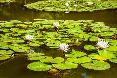 Lirios de agua en una charca Hojas de la flor blanca y del verde Fotografía de archivo libre de regalías