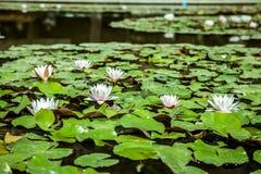 Lirios de agua en una charca Hojas de la flor blanca y del verde Foto de archivo