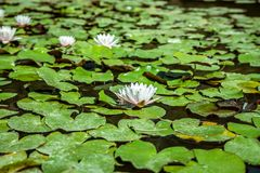 Lirios de agua en una charca Hojas de la flor blanca y del verde Imagen de archivo