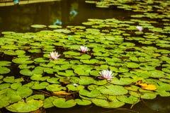 Lirios de agua en una charca Hojas de la flor blanca y del verde Fotos de archivo