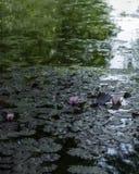 Lirios de agua en una charca mística Imágenes de archivo libres de regalías