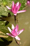 Lirios de agua Fam; Nymphaeaceae Fotos de archivo libres de regalías