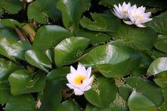 Lirios de agua florecientes Foto de archivo libre de regalías