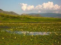 Lirios de agua florecientes en el río Ust Anga en el lago Baikal Foto de archivo libre de regalías
