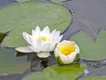 Lirios de agua Flores del verano Imagenes de archivo