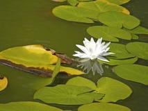 Lirios de agua Flores del verano Fotografía de archivo