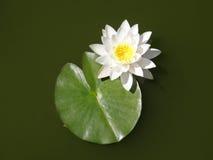 Lirios de agua Flores del verano Fotos de archivo libres de regalías