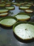 Lirios de agua gigantes Foto de archivo libre de regalías
