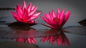 Lirios de agua hermosos con la reflexión del pétalo en agua tranquila Fotos de archivo
