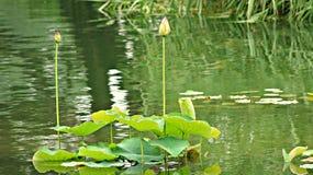 Lirios de agua Lotus South Korea imagen de archivo libre de regalías