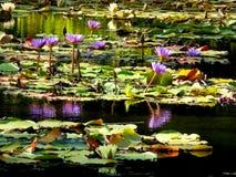 Lirios de agua púrpuras de la reflexión Foto de archivo libre de regalías