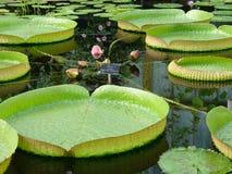 Lirios de agua que crecen en un lago Fotografía de archivo libre de regalías