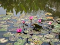 Lirios de agua rosados o comienzo del Nymphaea que florece en la superficie del abund Fotos de archivo