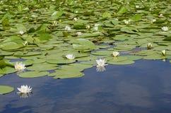 Lirios de agua salvajes Fotos de archivo