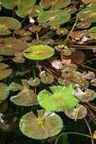 Lirios de agua verdes hermosos en el agua oscura Imágenes de archivo libres de regalías