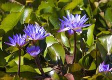 Lirios de agua violetas Imagen de archivo libre de regalías