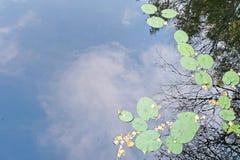 Lirios de agua y hojas amarillas de los árboles en el lago Fotos de archivo libres de regalías