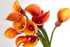 Lirios de cala anaranjados (Zantedeschia) sobre blanco Fotos de archivo