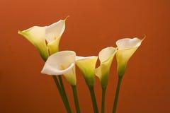 Lirios de cala en naranja Imagen de archivo libre de regalías