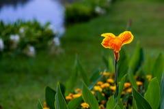Lirios de canna anaranjados y amarillos majestuosos en un parque al aire libre imagen de archivo libre de regalías