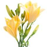 Lirios de día amarillos frescos con los waterdrops Foto de archivo libre de regalías