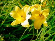 Lirios de día en primavera Imagen de archivo