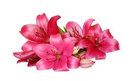 Lirios de día rosados Imagen de archivo libre de regalías