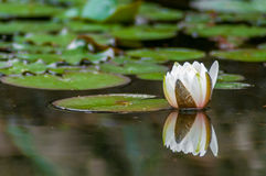 Lirios de Lotus blanco que flotan con la reflexión Imagen de archivo