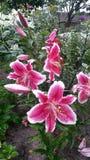Lirios en el jardín del verano fotografía de archivo