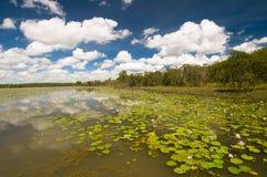 Lirios en el pájaro Billabong, Australia Imágenes de archivo libres de regalías
