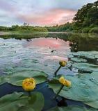 Lirios en la puesta del sol del río Imagen de archivo libre de regalías